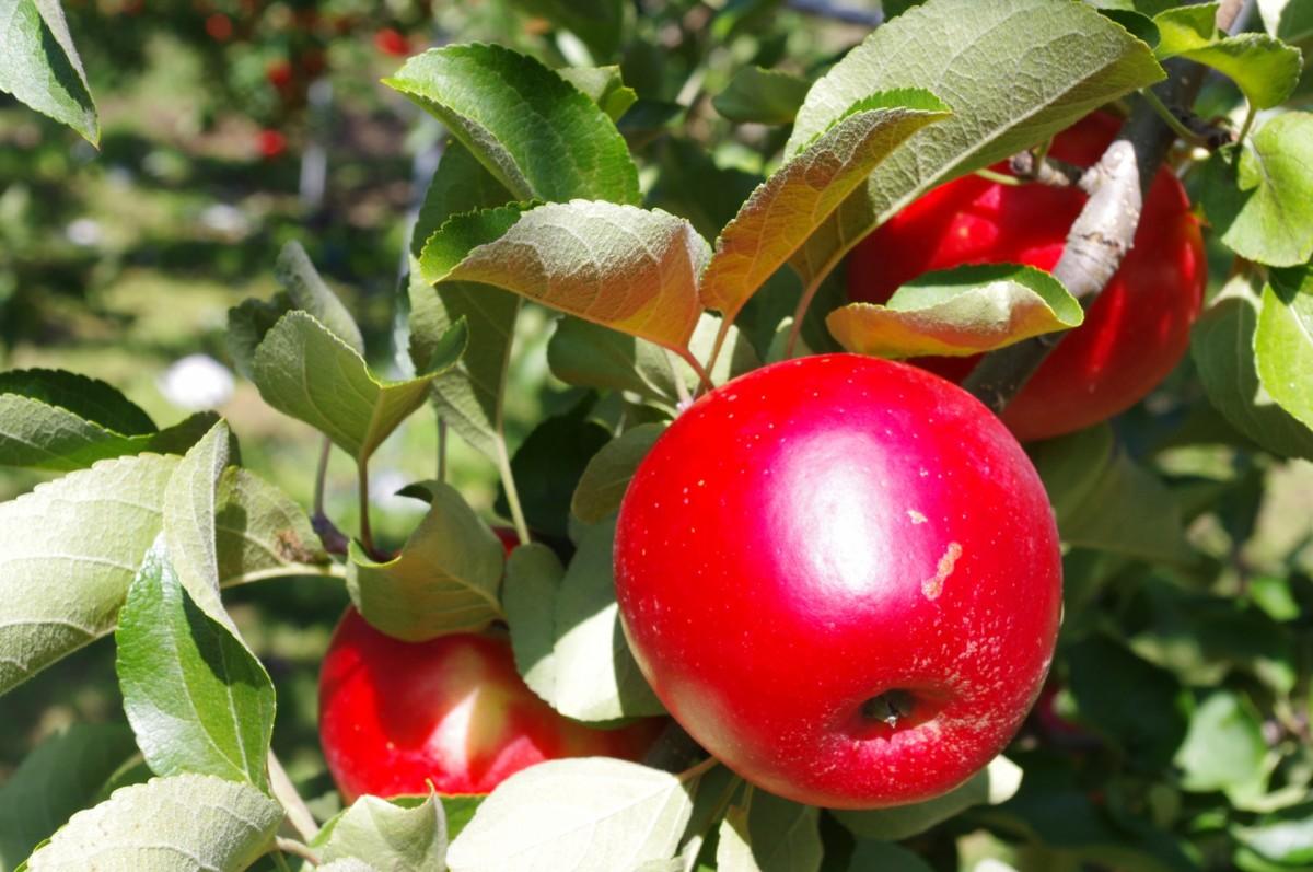 りんご狩り 長野2